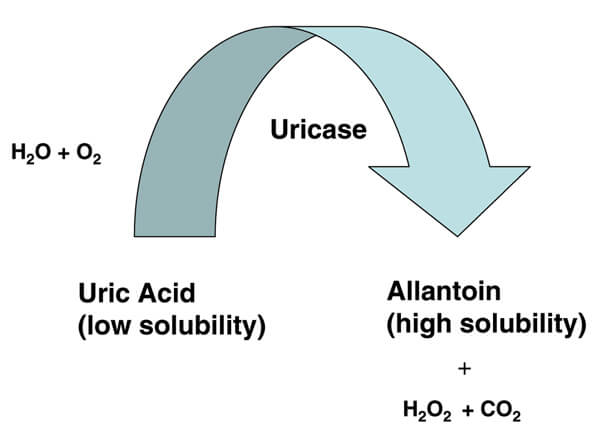 How Uricase Eliminates Uric Acid image