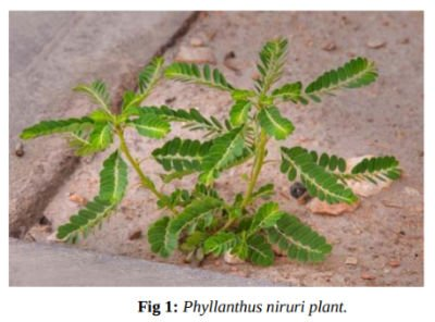 Chanca Piedra for Gout plant photo