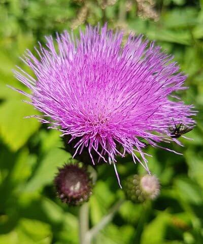 Milk Thistle Herbal Medicine for Gout photo